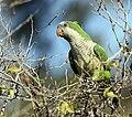 Myiopsitta monachus -Temaikén Zoo-8.jpg