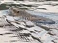 Myocastor coypus in pond of Jokoji Park - 1.jpg