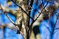 Myrtle warbler (37299428800).jpg