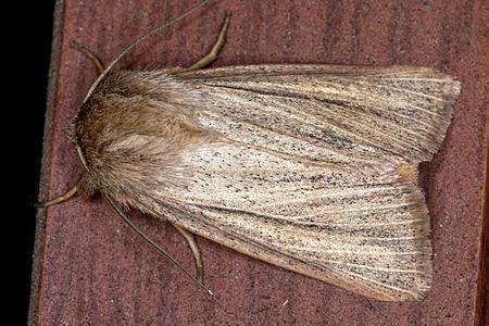 Mythimna pudorina, Lodz(Poland)02(js).jpg