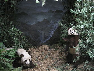 Natural History Museum of Bern - The museum's panda diorama, located in Asian Mammals.