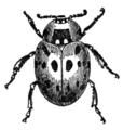 NSRW Ladybug.png