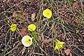 Narcissus romieuxxi - geograph.org.uk - 1186152.jpg