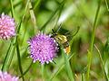 Narrow-bordered Bee Hawkmoth (Hemaris tityus) (14035941340).jpg