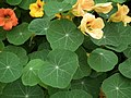 Nasturtium from Lalbagh flower show Aug 2013 7998.JPG
