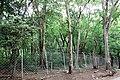 Natural Sandal Forest @ Marayoor - panoramio (3).jpg