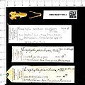 Naturalis Biodiversity Center - RMNH.MAM.11969.a pal - Erophylla sezekorni planifrons - skull.jpeg