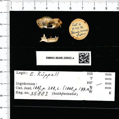 500px naturalis biodiversity center   rmnh.mam.35882.a reg   rhinopoma microphyllum   skull