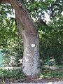Naturdenkmal Stieleiche in Tulln 02.JPG