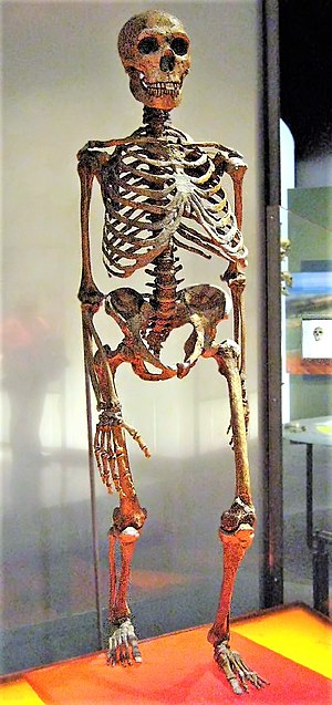 Neanderthal - An approximate reconstruction of a Neanderthal skeleton. (The central ribcage, including the sternum, and parts of the pelvis are from modern humans.)
