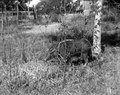 Neg 13740 Kaudern ? Svin i buskage Bild 21742. Madagaskar - SMVK - 021742.tif