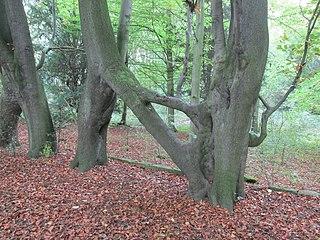 Tree of the Year (United Kingdom)