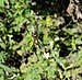 Nephila senegalensis Santiago Cape Verde.jpg