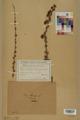 Neuchâtel Herbarium - Larix decidua - NEU000003685.tif
