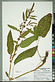 Neuchâtel Herbarium - Rumex obtusifolius - NEU000099804.jpg