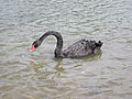 New Orleans City Park Black Swan.JPG