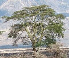 Acacia xanthophloea – Wikipédia, a enciclopédia livre