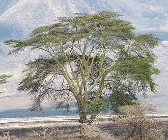 Vachellia xanthophloea - Image: Ngorongoro Acacia xanthophloea