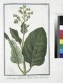 Nicotiana Minor - Erba Regina Tabacco - Nicotiane, ou Tabac, ou Herbe à la Rhine. (Tobacco) (NYPL b14444147-1125018).tiff