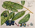 Niepa Bark Tree (Quassia indica (Gaertner) Nooteb.); branch Wellcome V0042653.jpg