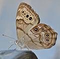 Northern Pearly-Eye (Enodia anthedon) (9256869607).jpg