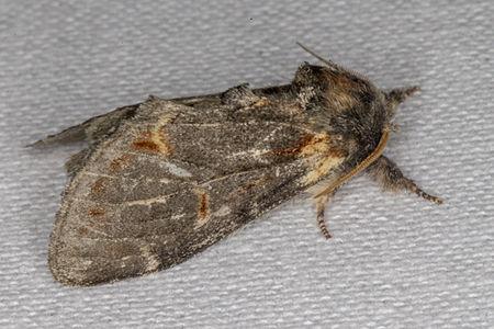 Notodonta dromedarius, Lodz(Poland)02(js).jpg