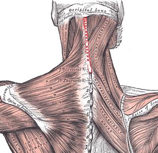 Nuchal fascia fascia sheathing the autochtonous musculature of the neck