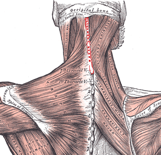 Nuchal ligament - Muscles connecting the arm to the spine seen from behind (nuchal ligament labeled in red at center)