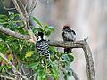 Nuttall's Woodpecker - Flickr - GregTheBusker.jpg