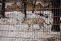 Nyíregyháza Zoo - White tiger.jpg