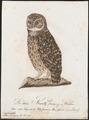 Nyctala funerea - 1800-1812 - Print - Iconographia Zoologica - Special Collections University of Amsterdam - UBA01 IZ18400213.tif