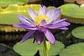 Nymphaea 'Kew's Stowaway Blues'-IMG 5497.jpg