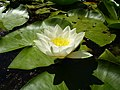 Nymphaea alba-white water lily-Dragoman marsh.jpg