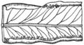ONF Fig 06 - Pteris longifolia pinna segment.png