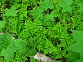 Oak Fern and Thimbleberry Textures (3629352621).jpg