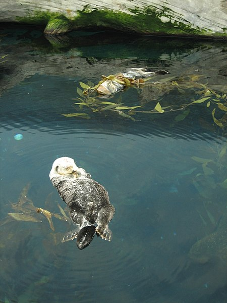 an otter floating peacefully in water