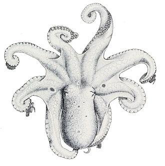 Octopus (genus) - Image: Octopus bimaculatus 1