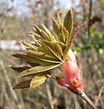 Ohio Buckeye (Aesculus glabra) bud opening - Flickr - Jay Sturner.jpg