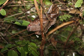 Oilbird - The widespread habit of roosting in trees was only recently discovered by scientists
