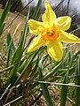 One Daffodil.JPG