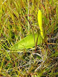 Ophioglossumcalifornicum.jpg