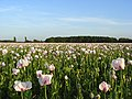 Opium poppies, Hampstead Norreys - geograph.org.uk - 876346.jpg