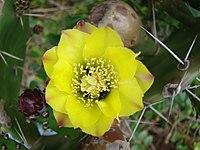 Opuntia arechavaletae 1.jpg