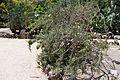 Opuntia cylindrica Jardín botánico de Valencia (3).JPG