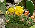 Opuntia ficus-indica 1.jpg