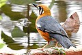 Orange-headed Thrush Geokichla citrina by Dr. Raju Kasambe DSCN5923 (9).jpg