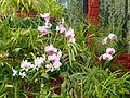 Orchidées-Jardin botanique de Peradeniya-Sri Lanka (3).jpg