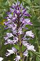 Orchis militaris pelouse-chezy-sur-marne 02 12052007 5.jpg