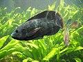 Oreochromis mossambicus.jpg