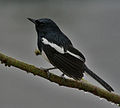 Oriental Magpie Robin (Copsychus saularis)- Male bathing in the rain at Kolkata I IMG 3742.jpg